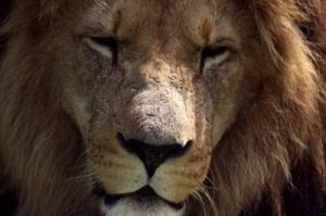 Time Management Lion
